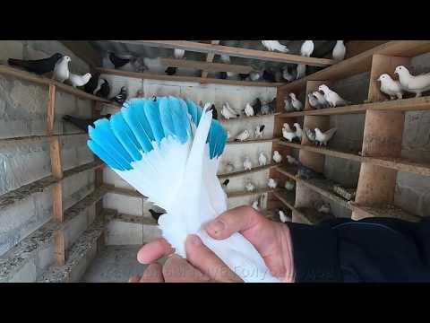 Бакинские бойные голуби . Игра ,Бои и Нежданный гость - ( спустя 3 года )