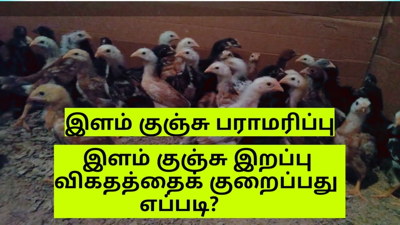 Download 1 நாள் முதல் 30 நாள் வரை இளம் குஞ்சு பராமரிப்பு | 1 Day to 30 Days Chicks Maintenance in Tamil