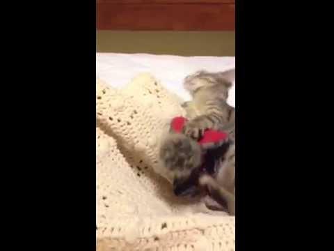Mariposa, my sweet CH foster kitten
