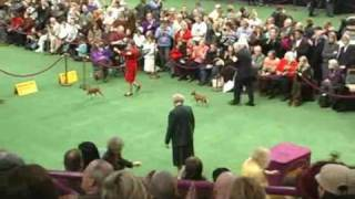 Miniature Pinscher  Westminster Best Of Breed