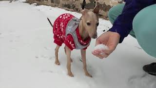 Baby Italian Greyhound sees SNOW for the first time!