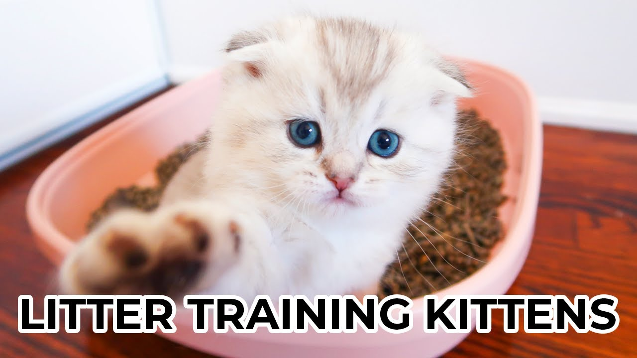 How To Litter Train Kittens From 4 Weeks Old Featuring Scottish Fold Scottish Straight Kittens Youtube
