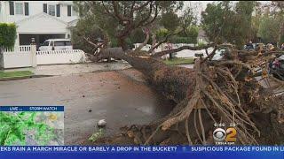100-Foot Pine Tree Narrowly Misses Studio City Home