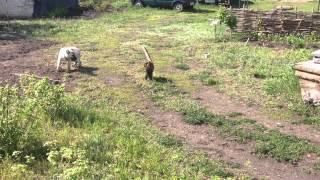Кошка гоняет алабая(, 2015-05-23T08:18:19.000Z)
