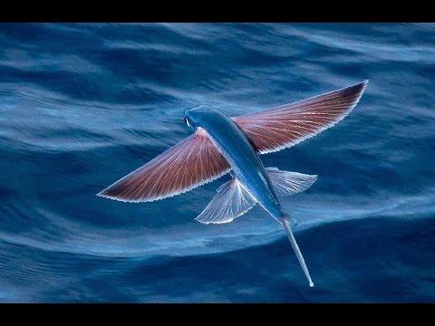 Икра летучей рыбы тобико. Купить икру летучей рыбы масаго
