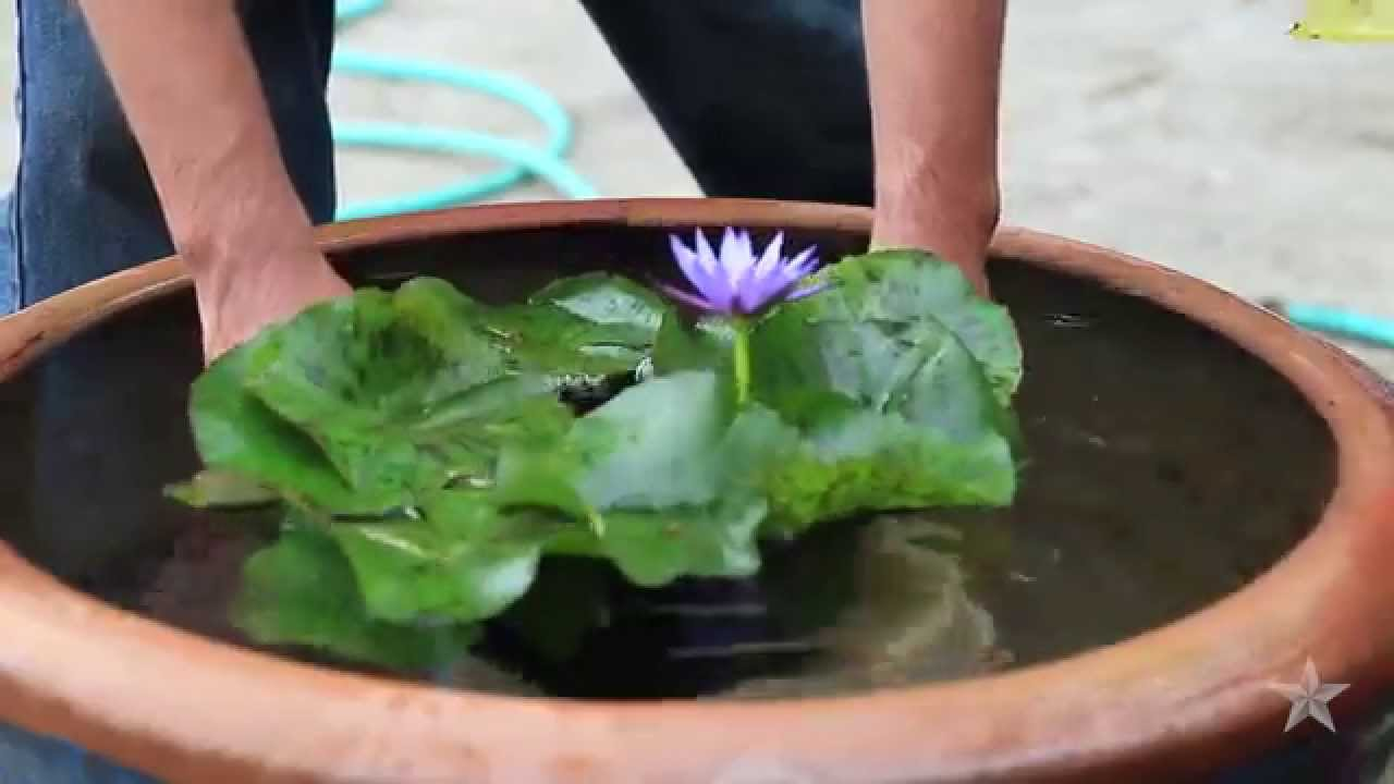 Water lily youtube water lily izmirmasajfo
