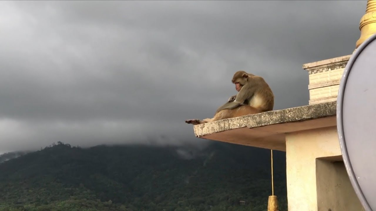 Thousands of monkeys invade Myanmar temple to shelter from rain