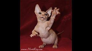 Как выглядят породы кошек(Бамбино, голый миниатюрный кот с короткими лапками.)