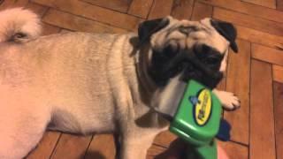 Расчесываем мопса фурминатором / Pug Grooming With Furminator