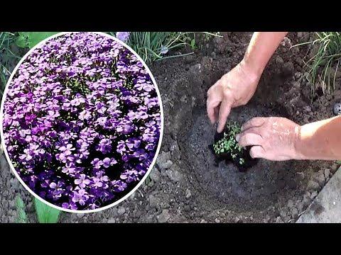 Обриета из семян. Как сажать обриету в открытый грунт