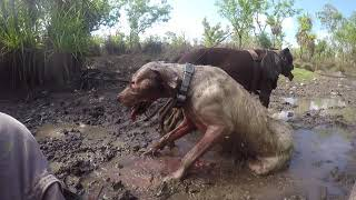 Exhausted Hunting Dogs and Boar from chase