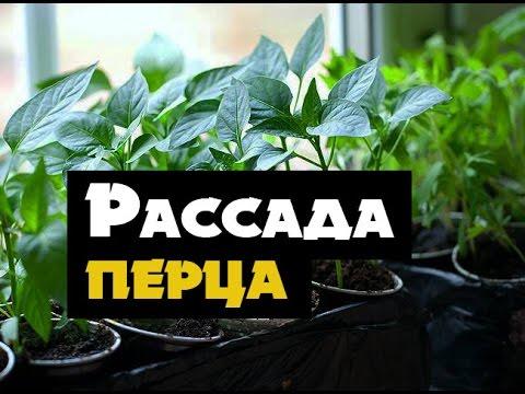Когда и как высаживать сладкий перец | сладкого | рассадоц | посадить | рассады | рассаду | рассада | посадка | сеять | перца | перец
