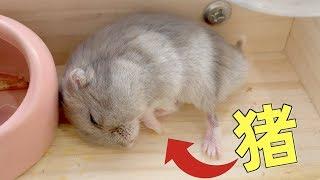 仓鼠睡梦中惊醒,自家房顶没了,还被强制营业走迷宫