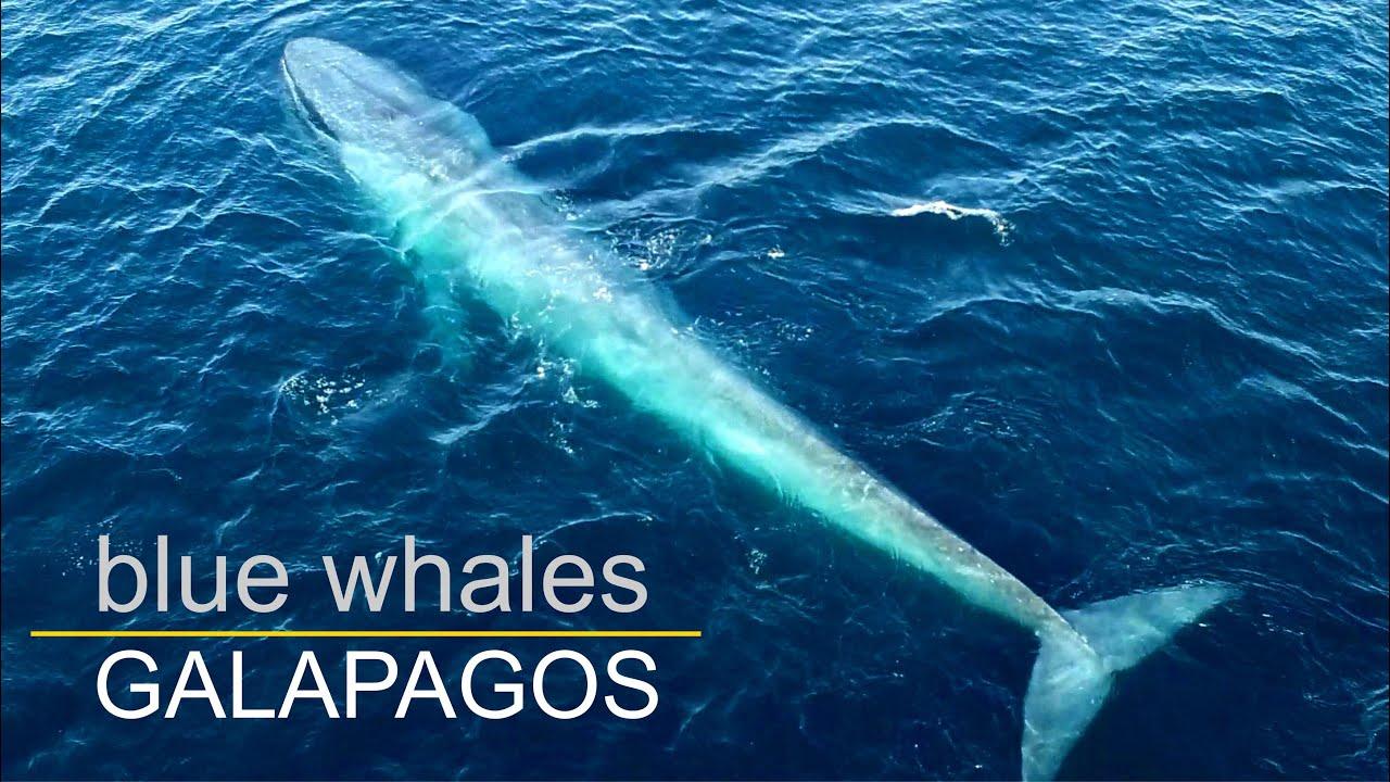 Blue Whales In Galapagos Blauwale In Galapagos Pestivideo De Dji Phantom Youtube