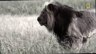 Хищники Африки 2018. Львы убийцы. Убийцы из Серенгети.