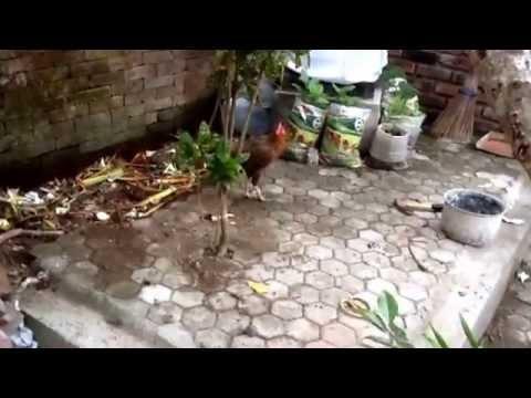 Курица поет как петух! 1