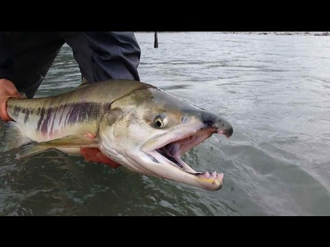 Coho Salmon And Chum Salmon Fly Fishing In Squamish BC Canada