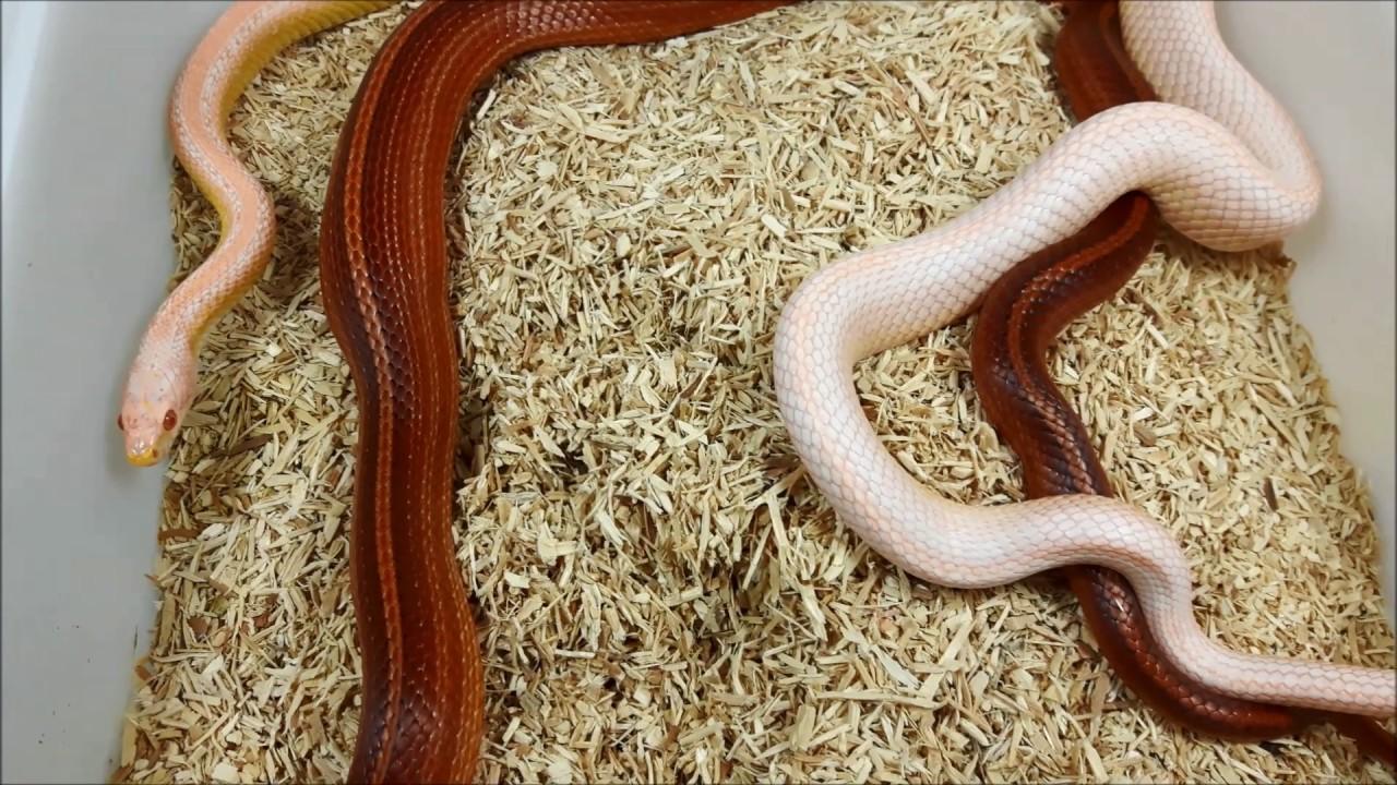 Breeding Corn Snakes Salmon Snow Striped x Tessera Striped
