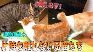 退院した弟猫にくっついて離れない兄猫が優しすぎて涙… thumbnail