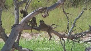 4K Mini Wildlife Moments: Baboon Play ~ Tarangire '20