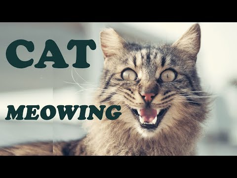 Cat Meowing - Sound Effect - 2017