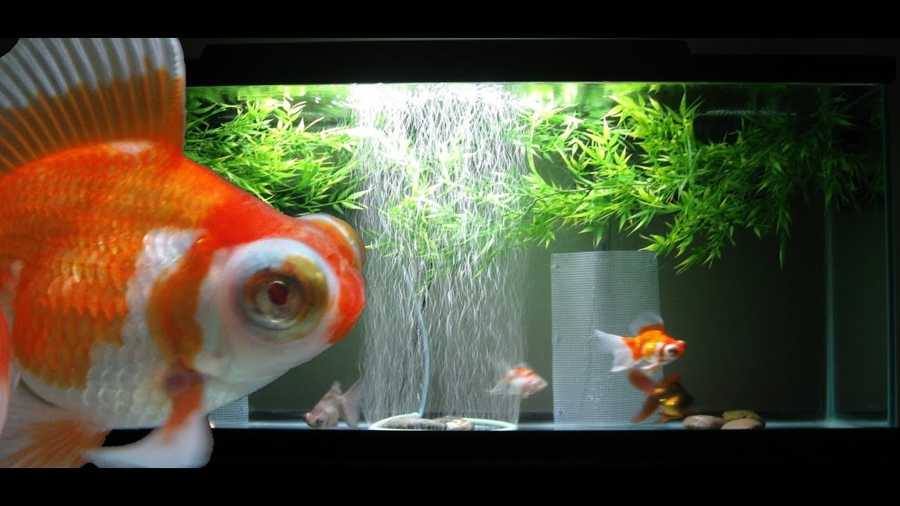 goldfish screensaver brings the - photo #14