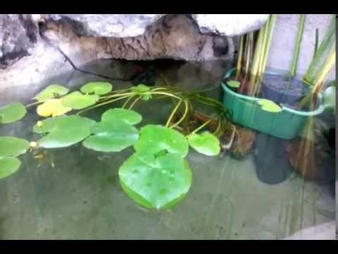 Estanque de carpas koi youtube for Carpa koi costo