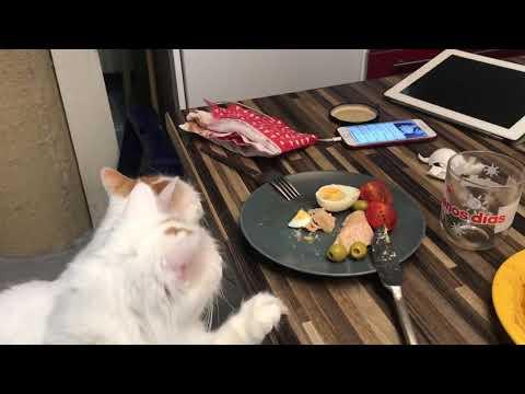 Turkish Van Cat - I want this Tuna!!7. Dezember 2017