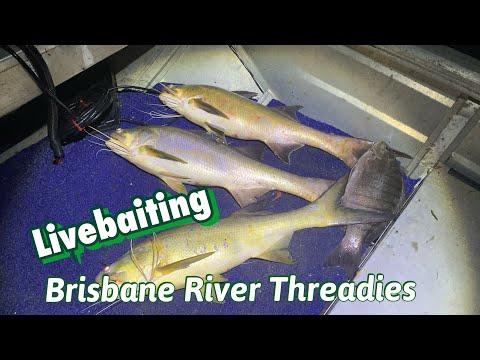 Livebaiting Brisbane River Threadies