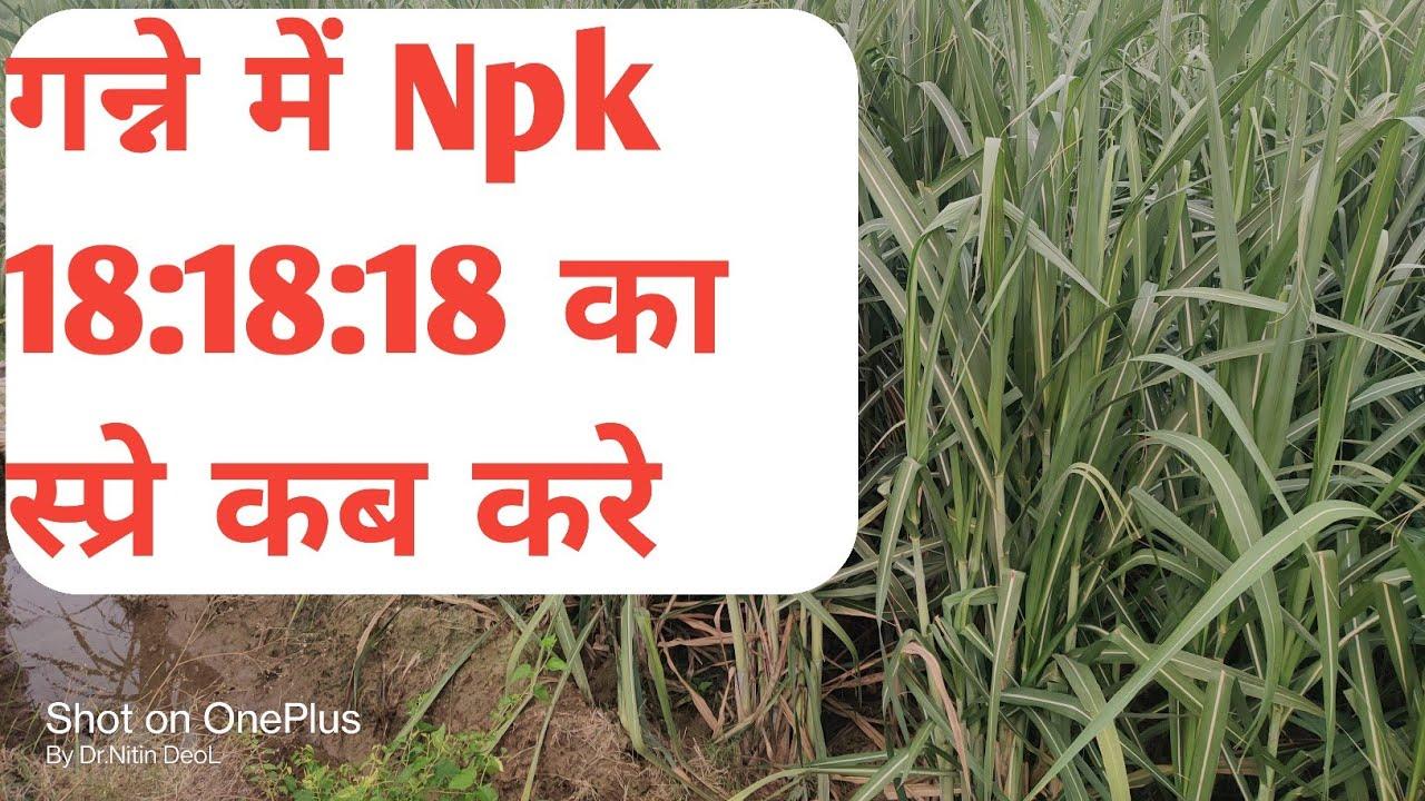 गन्ने में Npk 181818 का स्प्रे कब करे ।#Agriculture_Guruji, #Shorts