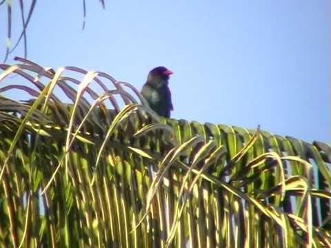 Восточный широкорот   Eurystomus orientalis  Dollarbird
