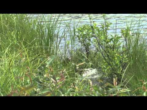 Katahdin German Shorthaired Pointer Club Water Retrieve