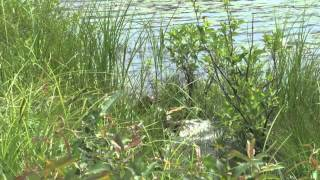 Katahdin German Shorthaired Pointer Club Water Retrieve