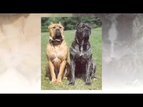 Australian Bandog Dog breed