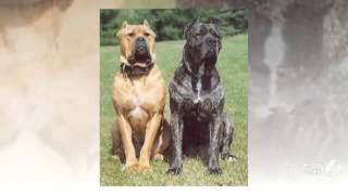 Australian Bandog Dog breed