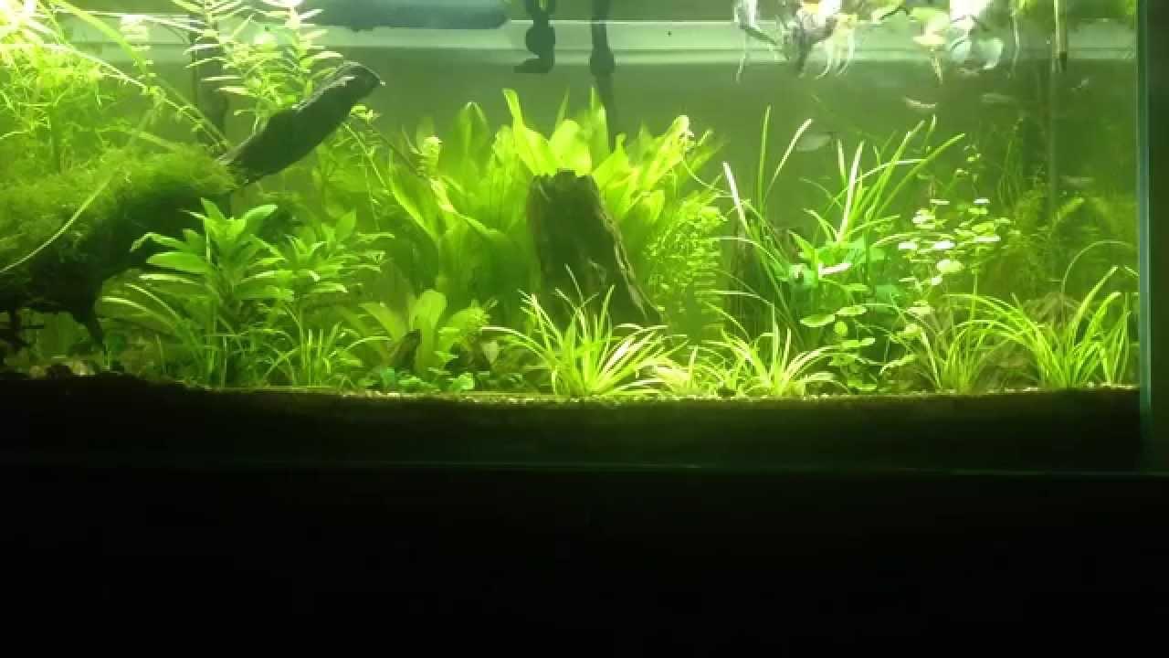 Aquarium eau chaude repas scalaire corydoras et nez rouge for Aquarium eau chaude