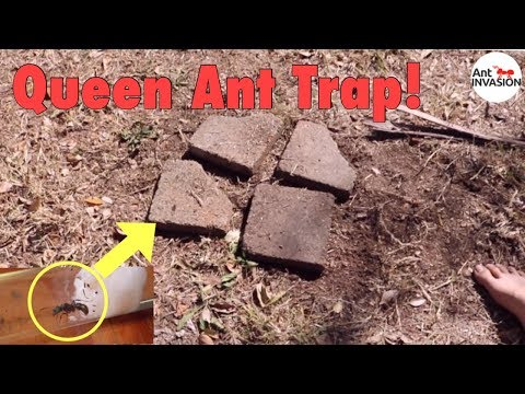 How To Make Queen Ant Trap + AA Nest Winner!