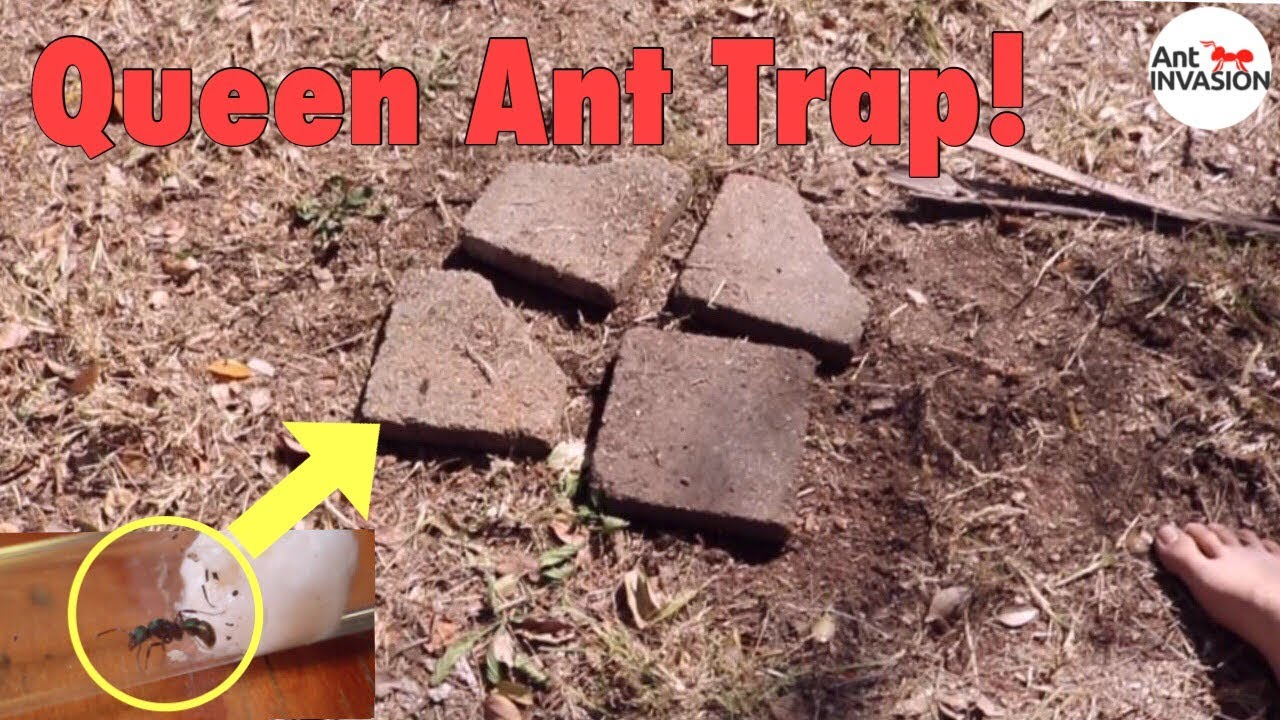 How to Catch a Queen Ant photo