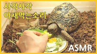 레오파드육지거북 청경채 야채먹방 ASMR 잠오는소리 5…