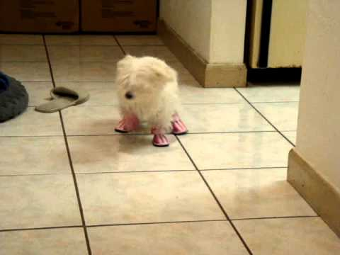 Another Maltese Puppy s New Shoes - YouTube bc57a781daf5