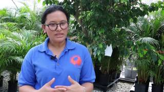 Bacterial Wilt Disease in Tomato - Ralstonia
