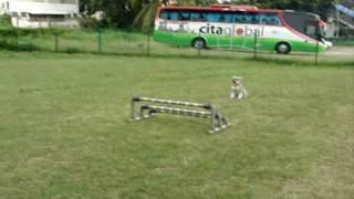 Miniature Schnauzer Training For Agility Jump
