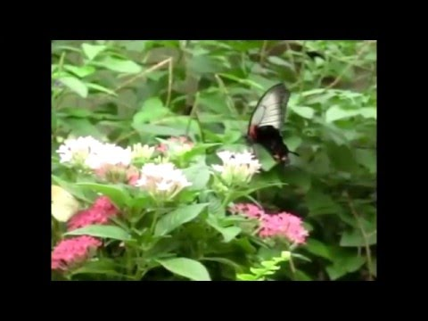 Butterfly Flying (Slow Motion Animation Reference)
