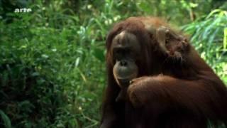 Orang Utans auf Borneo (HD Video!)