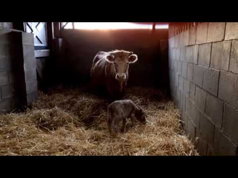 Rescued Cow and Her Baby - Hillside Animal Sanctuary