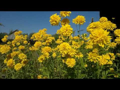 цветы золотые шары