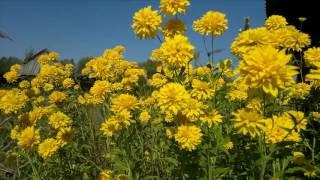 видео Цветы Золотой Шар  - выращивание, посадка и уход, как выглядит цветок