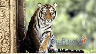 Zwierzęta w HD tygrys
