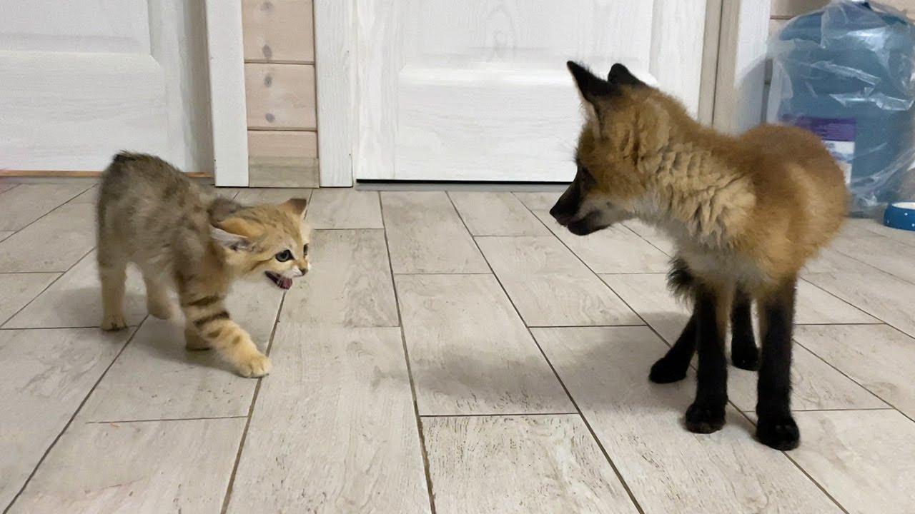 БАРХАННЫЕ КОТЫ ГОНЯЮТ ЛИСУ / Сурикат попал к кошкам и енотам