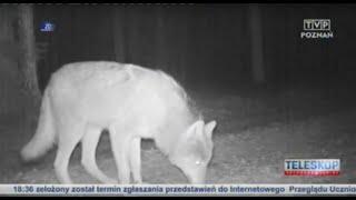 POZNAŃ: Wilki widziane blisko miasta